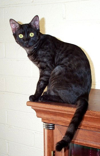 History of EGYPTIAN MAU