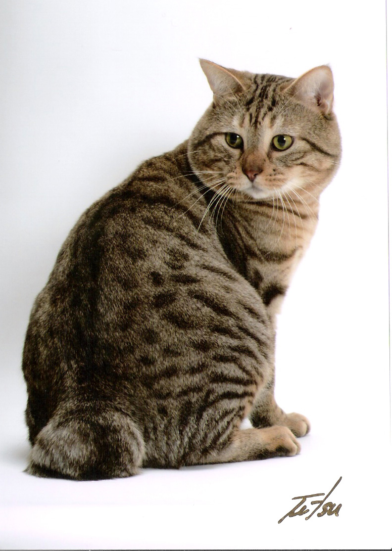 American Bobtail Cat Breeders