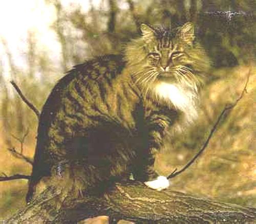 Порода кошек Норвежская Лесная бурый табби.
