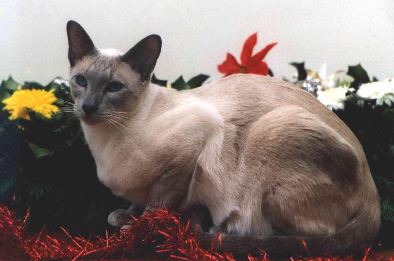 Classic Siamese Cats   www.imgkid.com - The Image Kid Has It!