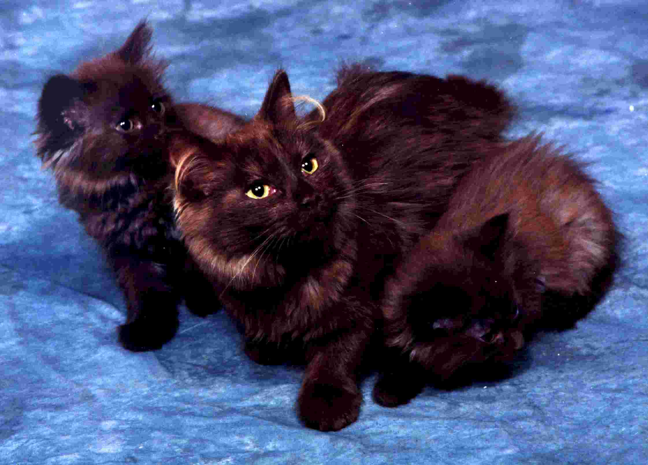 kitten breed pictures