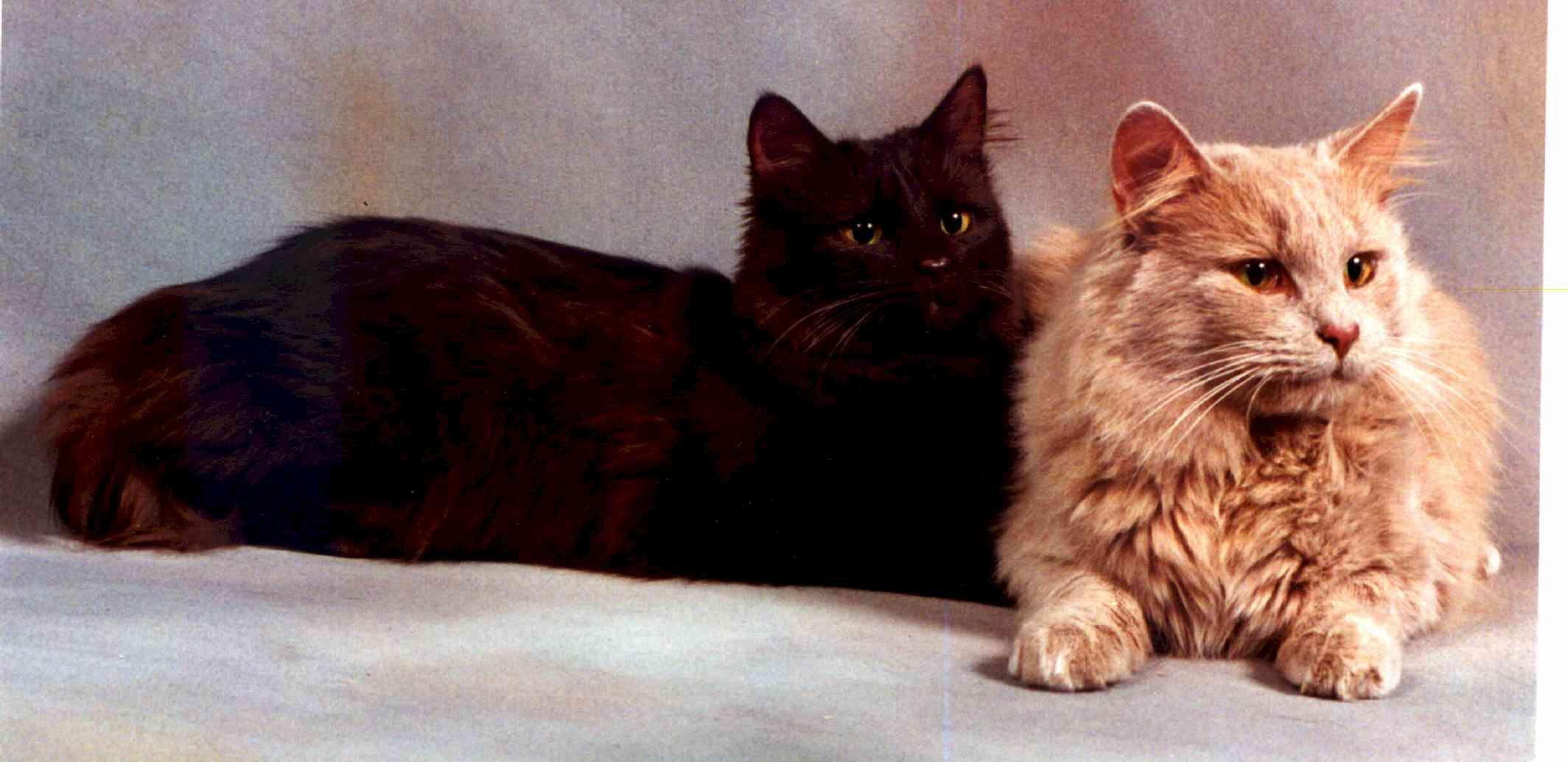 http://www.breeds.traditionalcats.com/BreedInfo/FAQTfny/image5.jpg